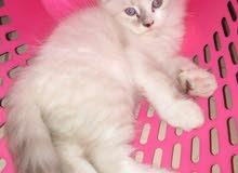 قطط للبيع مكس شيرازي وهملايا