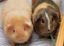 Wanted female Guinea pigs