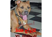 xL Pitbull