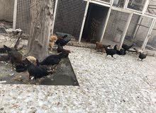 دجاج عرب صحيات مال بيت