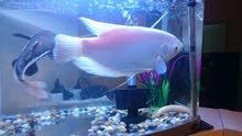 سمكة غراند غرامي