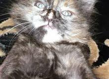 قطه صغيره للبيع  العمر شهر واسبوع..سبب البيع كثرة القطط عندي