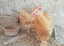سيت دجاج كوجن عملاق للبيع او للمراوس