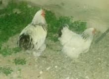 دجاجه وفروج براهما طوق للبيع 90 دينار