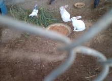 لبيع ارنب زوج أنثى وذكر منتج   هولندي الون ابيض خالص السعر.15﷼