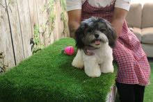 للبيع كلب شيتزو 180 دينار قابل للتفاوض