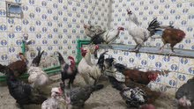دجاج عرب وابو ركيبة للبيع