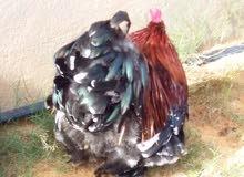 كوبية زهري لي البيع دجاجة وفروج