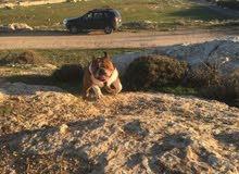 كلب english bulldog