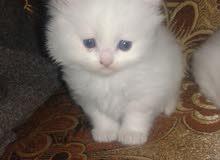 قط شيرازي هملايا العمر شهرين متعود على الاكل والتراب