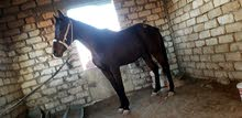 حصان  جذسطف