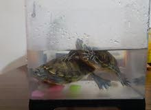 2 turtles for sale with small tank and food