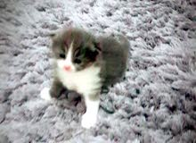 Cat American sherazi for sale (2 month only)