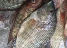 2 طن سمك بلطي للبيع