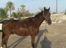 حصان مخصي للبدل بايشي مناسب
