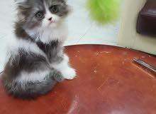 قطط persian أصلية صغيرة واخرى للإنتاج
