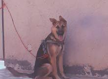 كلب جيرمن اصلي سوبر عمره 7 اشهر  ملقح