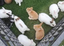 أرانب صغيره وكبيره