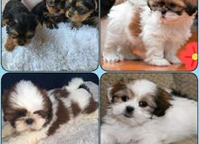 Pure Breed Puppies Available