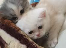 persian exotic kitten