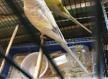 زوج طيور حب بزارات