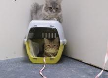 Himalayan Persian cats