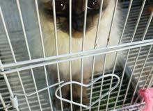 قطة هملايا للبيع