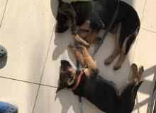 (german shepherd for sale together)كلبين جيرمن للبيع مع بعض