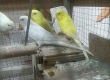 زوجين طيور حب هولندي ولقفص وياهن  ولي يحب يتصل