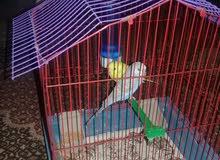 عصافير استرالى للبيع