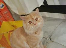 مطلوب قطة تم بيعها