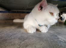 قطه شرازي ولايوجد بهاء اي مرض