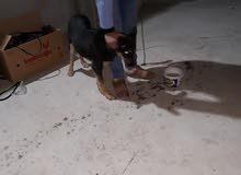 كلب اسود بوليسي