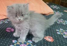 ققطط بريتش لونج هير