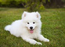 (مطلوب) كلب او كلبة سامويد