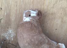 طيور للزينة للبيع وطيور مطيار للبيع