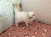 قطة هملايا ذكر عمر شهرين لون ابيض أطراف اورنج