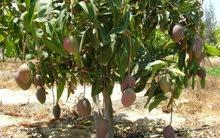 مزرعه خمس فدادين للبيع مانجو فى السويس