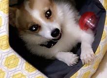 كلب كورجي نوع جيد جدا corgi dog to sell