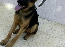 كلب جيرمان شيبرد للبيع
