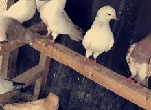 طيور رخت ورمانيات عيون سود للبيع