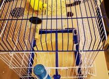 بادجي ( طيور الحب)