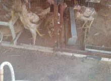 دجاج بلدي دجاج فرنسي جميع انواع الطيور على أشكالها 71266039