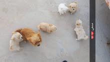 كلاب شيواوا للبيع