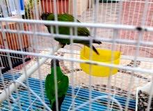 طيور ببغاء سنغالي