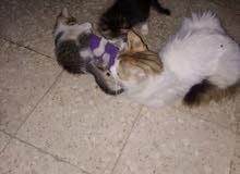 قطط للبيع صغيره القطه ب 10 دنانير