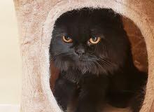 قط شيرازي أصلي