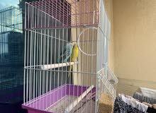 زوج بادجي للبيع pair love birds