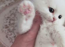 قطة شيرازي شانشيلا بيور انثى