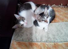 ثلاث قطط للبيع ذكرين وانثى